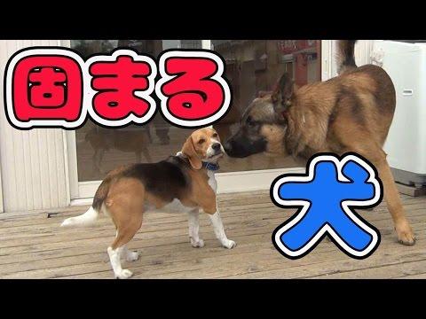 バカでかい犬を前に固まるビーグルだが・・・!!Beagle freezes over a ginormous dog!