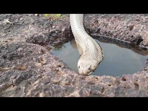 Cobra drinking water