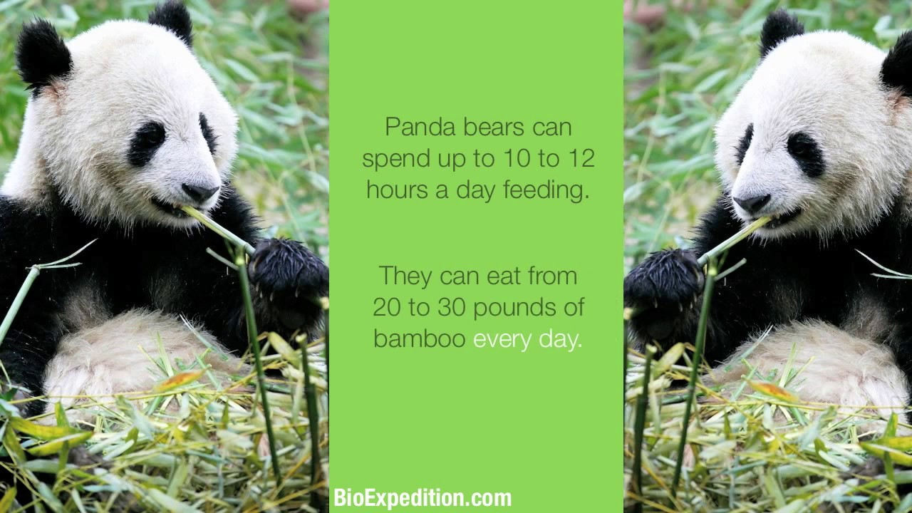 Information about Giant Panda - YouTube
