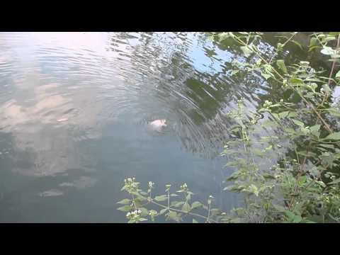 Hai vây xinh xinh, cá vàng bơi trong hồ nước, ngoi lên, ngụp xuống cá vàng vút lên bờ. :D