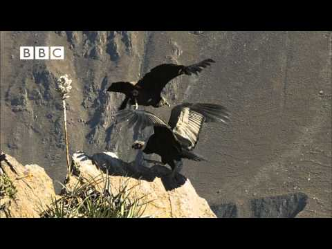 Earthflight (Winged Planet) - Condor Flight School (Narrated