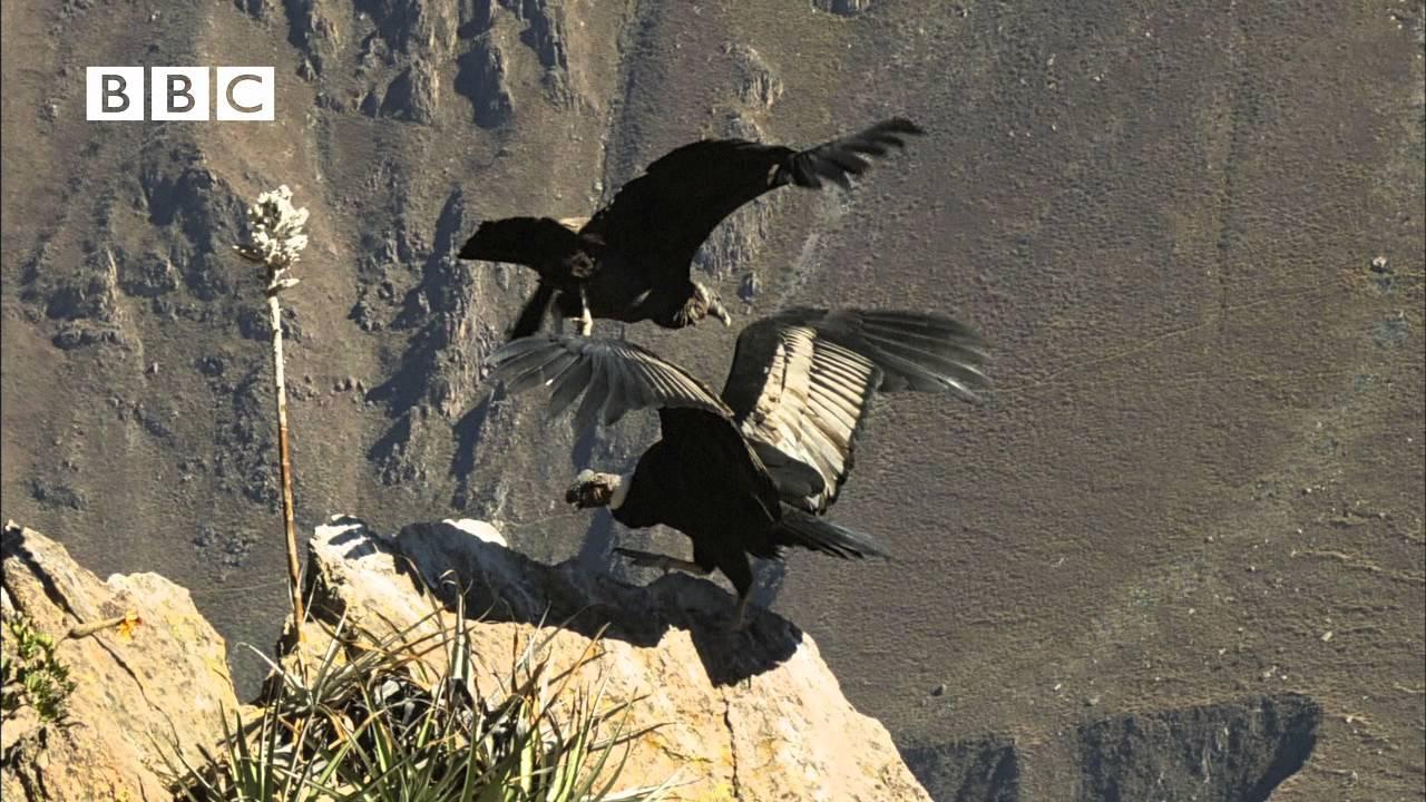 Download Earthflight (Winged Planet) - Condor Flight School (Narrated by David Tennant)