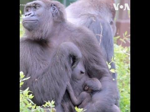 Sở thú Dallas chào đón khỉ đột con có nguy cơ tuyệt chủng (VOA)