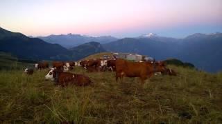 Traite des Vaches à Saint-François Longchamp