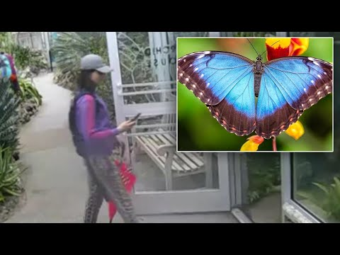 Did This Woman Steal a Rare Blue Butterfly While Dressed Like One?