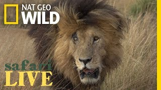 Meet the Lion Named 'Scarface' and His Lethal Pride | Nat Geo Wild