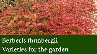 видео Berberis thunbergii
