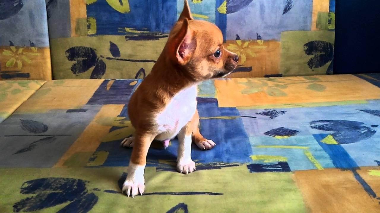 8-905-546-66-92 Купить щенка чихуахуа мини.Чихуа-хуа, РКФ. - YouTube