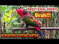 Suara Burung Nuri Kepala Hitam Jantan Kalau Sedang Memanggil Pasangannya  Mp3 - Mp4 Download
