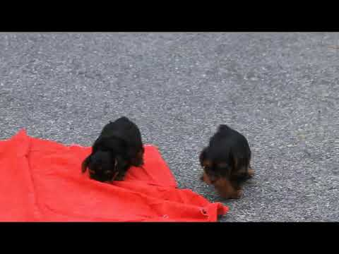 Yorkie-Poo Puppies For Sale