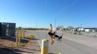 Spider wasp caught by Black widow
