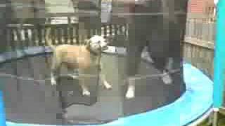 Bulldog On Trampoline