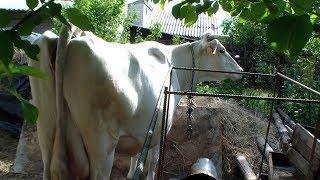 Как понять, что корова скоро отелится. Признаки скорого отела.