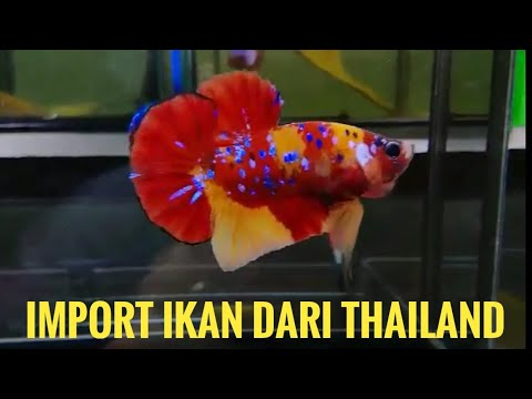 Ikan Cupang Thailand Jualan Nemo Candy Galaxy Youtube