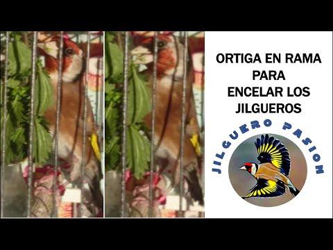 ORTIGA EN RAMA PARA ENCELAR LOS JILGUEROS 🌿🐦