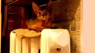 Абиссинская кошечка в новом доме
