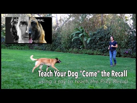 Teach Your Dog to COME, the Recall - Robert Cabral Dog Training #12