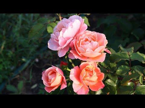 Вопрос: Почему Бабкина роза на третий день после цветения осыпает листья?