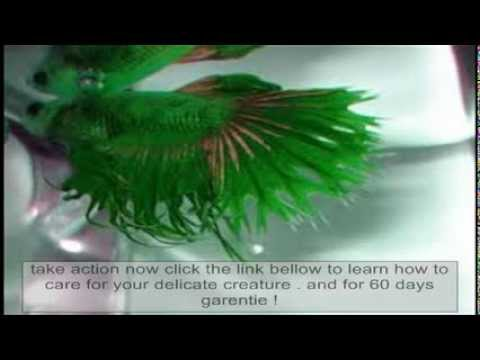 Betta fish care betta fish easy care reviews youtube for Easy to take care of fish