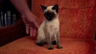 Lost Siamese Kitten Gets New Home In Oregon