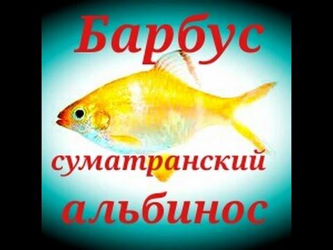 Аквариумные рыбки. Барбус Альбинос.