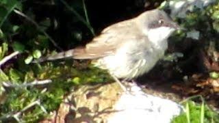 Eastern Orphean Warbler (Sylvia crassirostris)