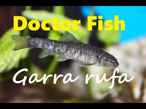 DOCTOR FISH GARRA RUFA | AWESOME AQUARIUM FISH