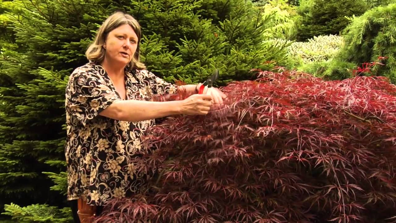 How To Prune Anese Maples Instructional Video W Plant Amnesty