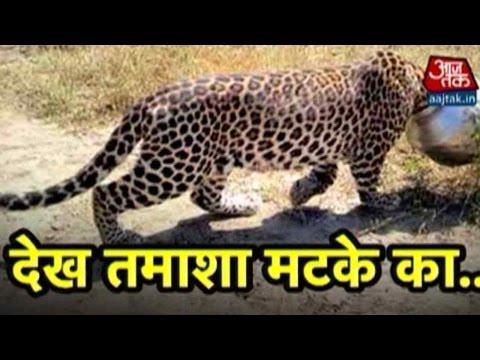 Vardaat: Thirsty Leopard Gets Head Stuck In Pot