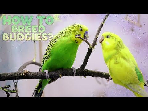 Budgie Breeding | Everything You need to know