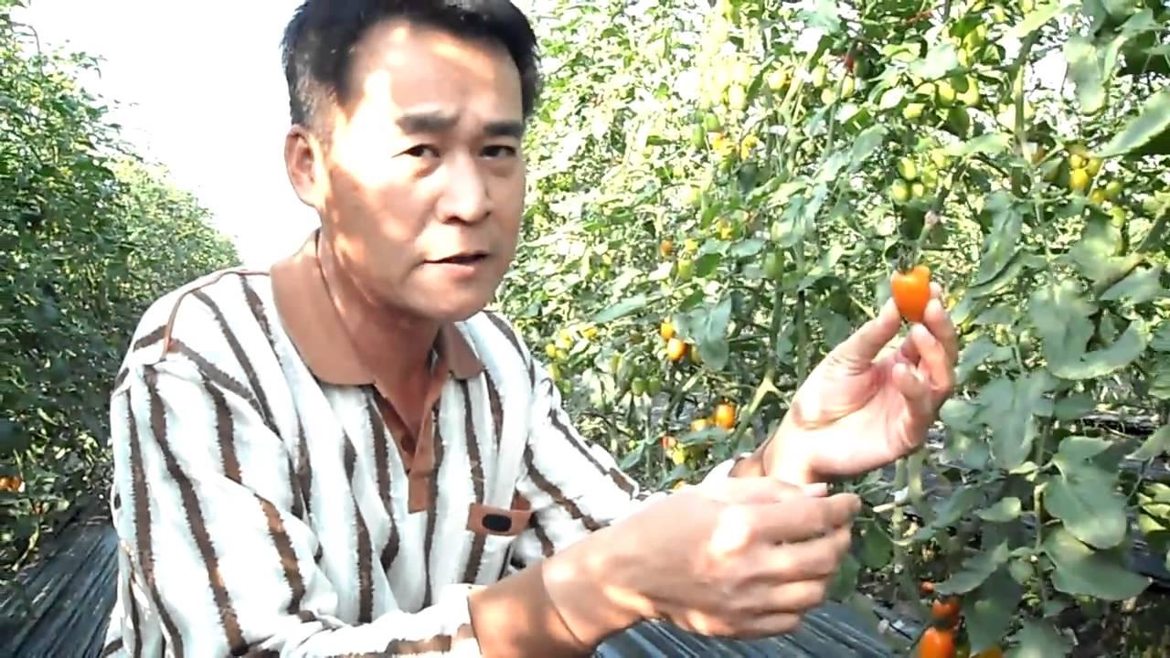 美濃 橙蜜香小蕃茄-手摘番茄教學