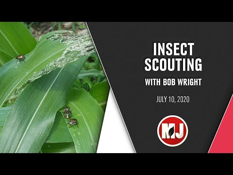 Insect Scouting   Bob Wright   July 10, 2020