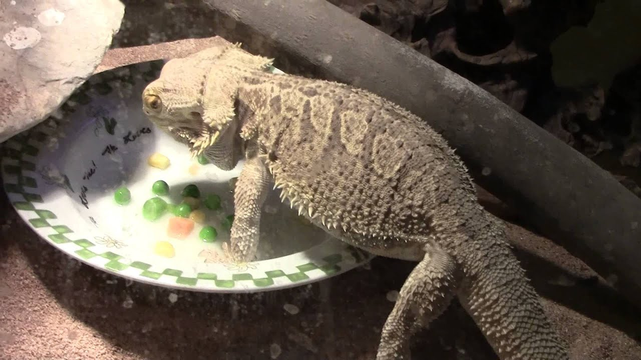 bearded lizard food