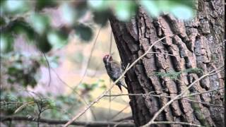woody woodpecker in action