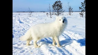 Песец-3: Возвращение пушистика! \ Arctic fox: the return of fluffy