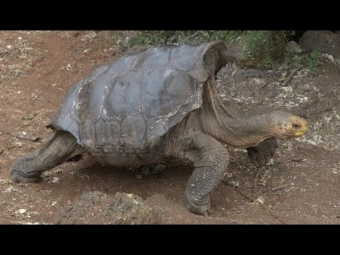 Pet Central - TORTOISE GOING INTO RETIREMENT AFTER SAVING SPECIES