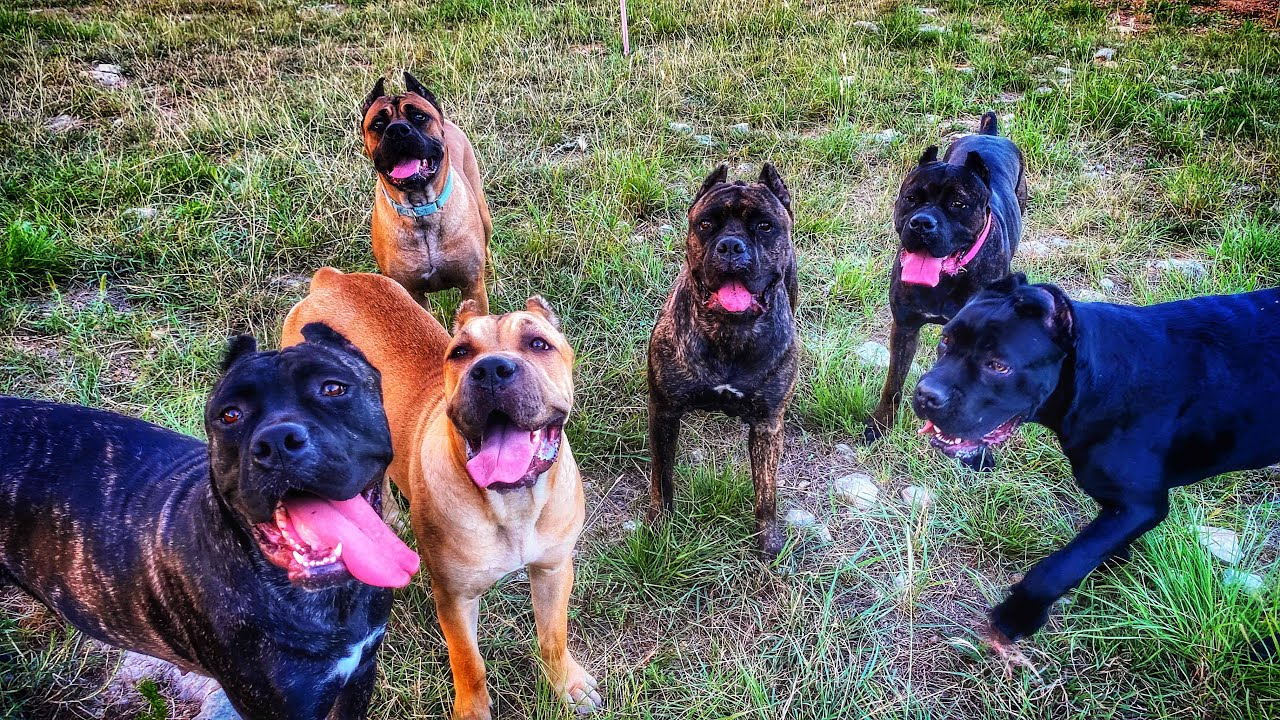 Cane Corso tries to dominate her way to the top of the Pack
