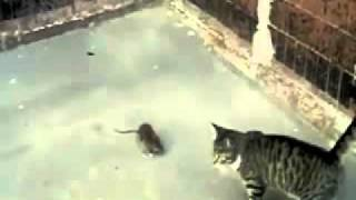 Крыса 'сделала' кота   Rat beat a cat