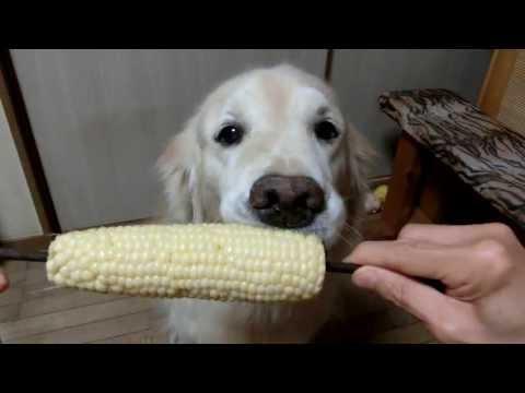 0 Labrador comendo uma espiga de milho