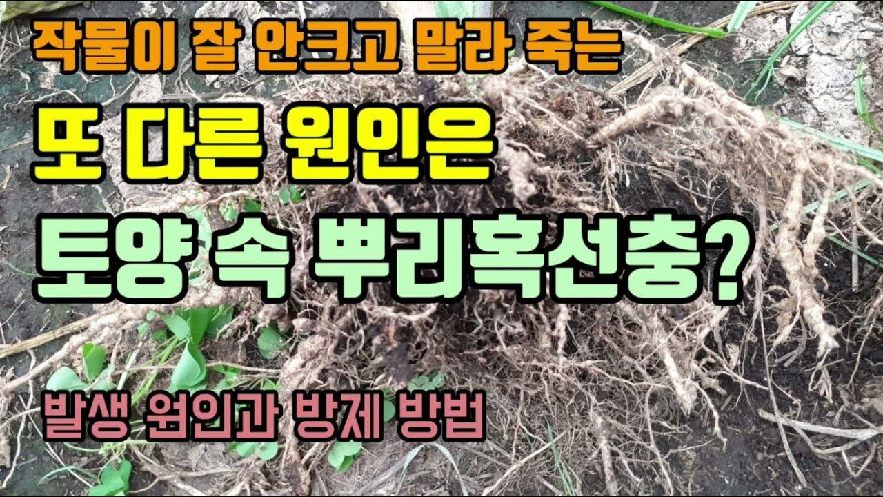 가지 고추 토마토 등 작물이 안크고 말라죽는 원은은 토양속 뿌리혹선충도 하나의 원인이며 뿌리에 있는 혹 보세요. 선충 발생원인과 방제방법