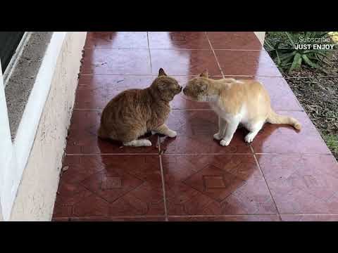 When cats turn into monsters Best cats fighting videos in Youtube Epic