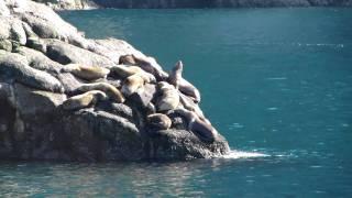Steller sea lions - Resurrection Bay, Alaska