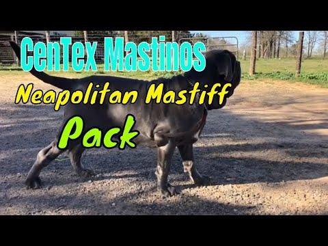 Our Show Quality Neapolitan Mastiffs