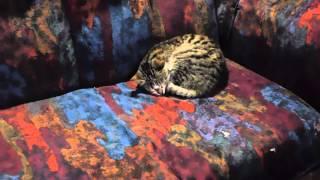 Кот пофигист ))))