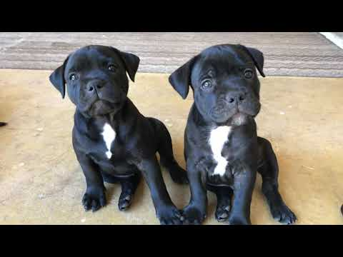 Blue/ Black Staffy Pups 7 Weeks Old