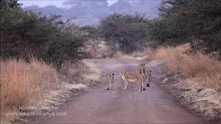 Lion family in Nairobi National Park