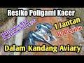 Ini Akibatnya Kacer Poligami Satu Jantan  Betina  Mp3 - Mp4 Download