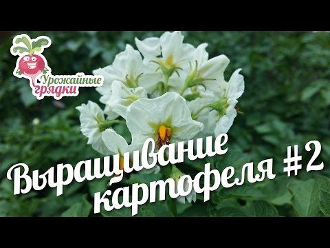 Выращивание картофеля разными способами. Часть 2 #urozhainye_gryadki