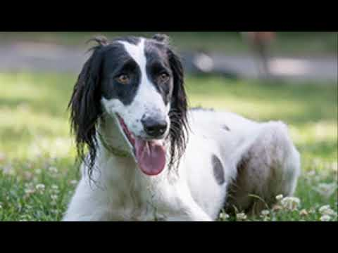 Taigan Dog  - sighthound dog breed