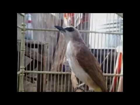 Burung Trucuk Betina